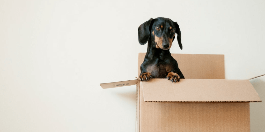 Wiener dog popping out of cardboard box